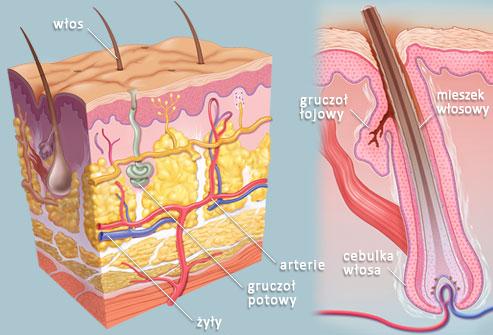 Salondorothy - przekrój skóry